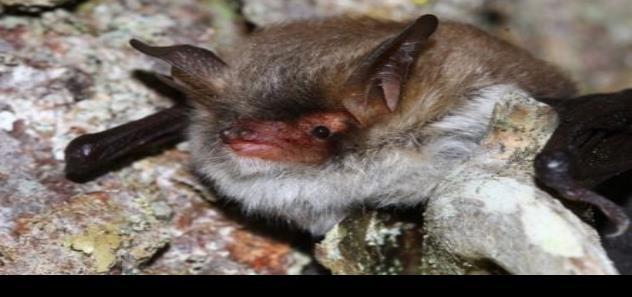 Los murciélagos vampiro saben mantener sus amistades
