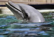 Descubren que los delfines regulan cada latido de su corazón mientras bucean