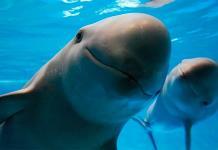 La austeridad de la 4T le arrebata 26% al plan que busca salvar a la vaquita marina