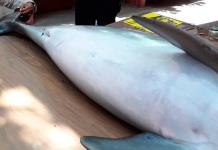 Atienden varamiento de delfín muerto en playa de Coatzacoalcos