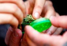 Nueva York vota contra la mariguana recreativa
