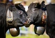 Localidad suiza deja de considerar legalmente ruido a cencerros del ganado