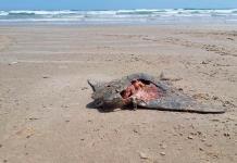 Hallan 17 mantarrayas muertas en playa de Tamaulipas