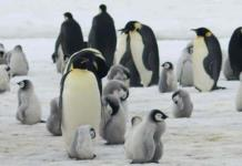 Hallan microplásticos en heces de pingüinos