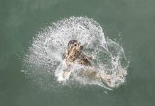 Estudio dice que las focas pueden imitar sonidos de palabras