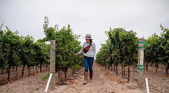 El documental Harvest Season explora la influencia mexicana en el vino californiano'>