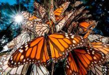 Baja 25.4 % degradación forestal en reserva de la mariposa monarca