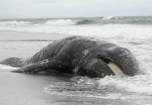 Ballenas grises estarían muriendo de hambre por el cambio climático