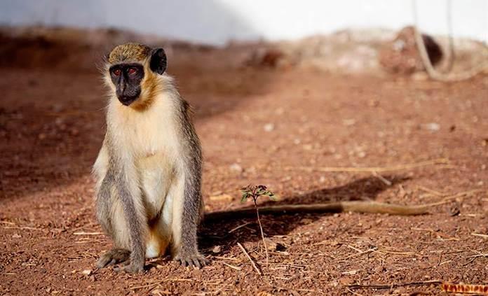 Los monos verdes de África desarrollan un sonido para alertar del sobrevuelo de drones
