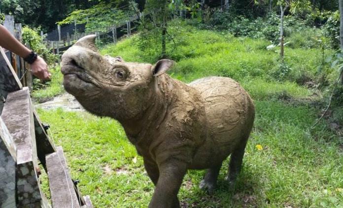 Muere Tam, último rinoceronte macho de Sumatra