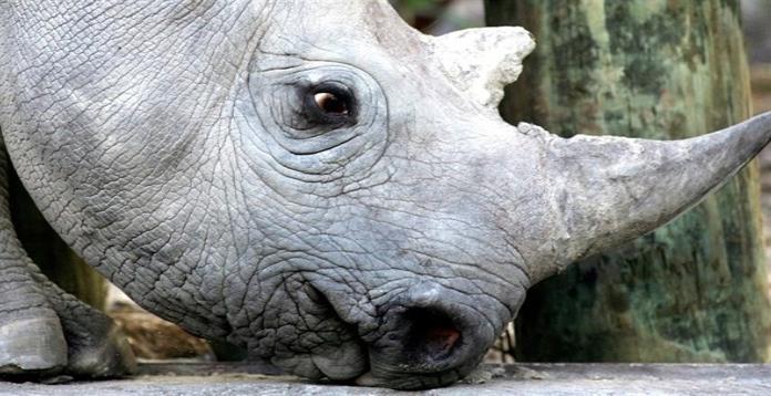 Rinocerontes en Botswana podrían desaparecer en tres años