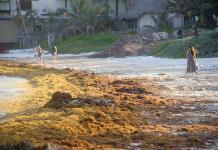 Moodys alerta de menores ingresos en el Caribe mexicano por plaga de sargazo