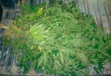 Localizan 34 plantas de marihuana en refinería de Cadereyta, NL