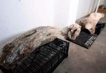 Revelan hallazgo de posibles restos de mamut en Puebla