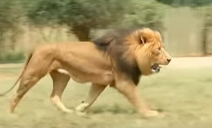 Alerta en noreste de Sudáfrica por manada de 14 leones libres