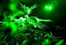 Cannabis, la nueva industria verde en Canadá