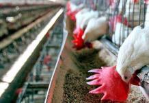 México no exporta huevo o pollo a Hong Kong, afirma la Secretaría de Agricultura