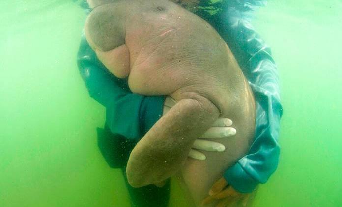 Cría de dugongo se encariña con sus cuidadores tailandeses