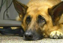 Científicos analizan la expresiva mirada de triste de los perros