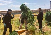 Hallan plantas de marihuana en terrenos de refinería en Cadereyta