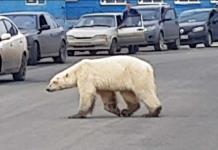 Llevan al zoo a osa polar que deambulaba en ciudad rusa
