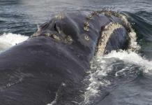 Graban canto de rara ballena franca por primera vez