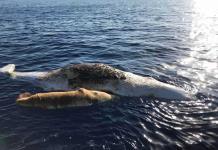 Dos ballenas mueren atrapadas en una red de pesca en Italia