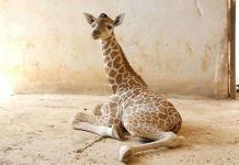 Alertan sobre extinción de las jirafas