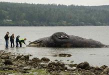 Científicos de EEUU buscan playas para ballenas muertas