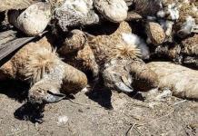 Hallan 537 buitres muertos por envenenamiento en Botswana