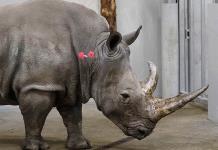 Fertilizan a rinoceronta para salvar su especie