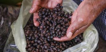 Nucú o chicatana, la hormiga comestible que es manjar en época de lluvias