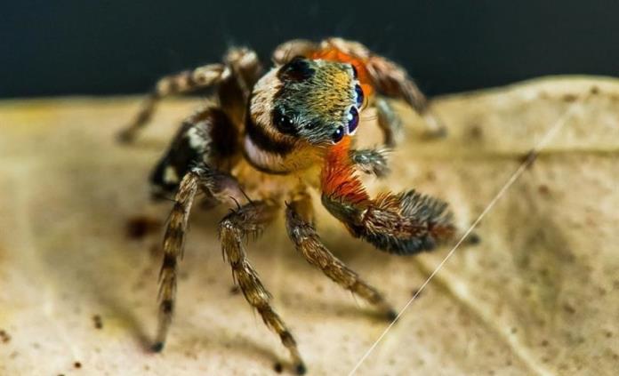 Descubren nuevas especies de arañas y una recibe el nombre Karl Lagarfeld