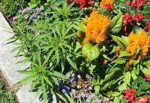 Encuentran cannabis en jardineras de capitolio de Vermont