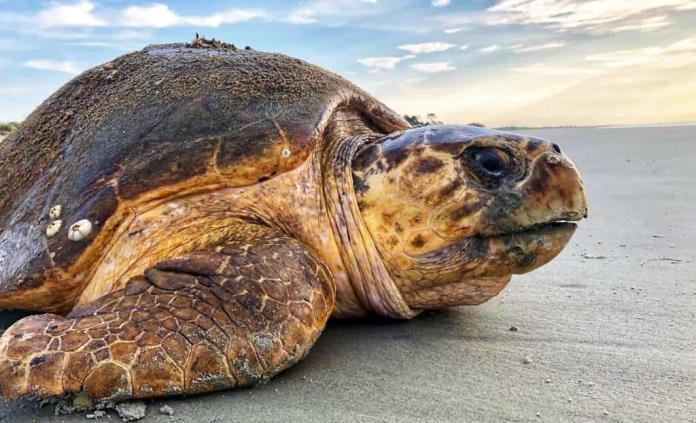 Tortugas superan récords de anidación en sureste de EEUU