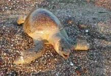 Captan muerte de tortuga marina en Mar de Cortés