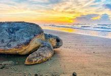 Tortugas caguamas superan récords de anidación