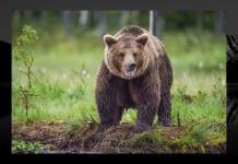 Peligra vida de oso perseguido por tercer día en bosque en Italia