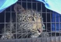 Hombre en EEUU paga por experiencia con leopardo; el felino lo atacó salvajemente