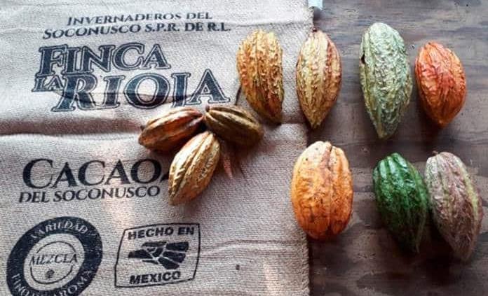 Clasifican al cacao de Chiapas como de los mejores del mundo