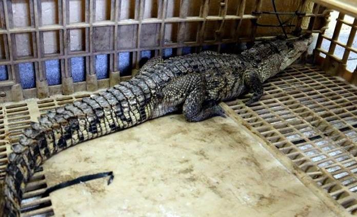 Amputan brazo de hombre mordido por cocodrilo en Suecia