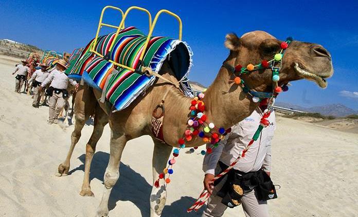 Paseo en camellos, un atractivo más en desierto y playa de Los Cabos