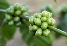 Qué es y cuáles son los beneficios del café verde