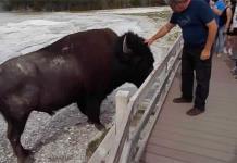 Graban a hombre acariciando a bisonte en parque Yellowstone (VIDEO)