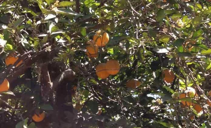 Los daños que ocasiona la falta de vitamina C
