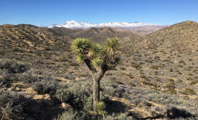 El árbol de Joshua de EEUU, en riesgo de extinción para finales de siglo
