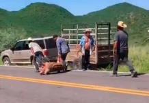VIDEO: Un camión con cerditos vuelca en una carretera de Sonora y pobladores se los llevan