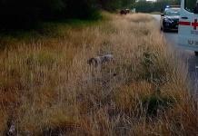 Veloz camioneta arrolla y mata a un peatón en Matehuala