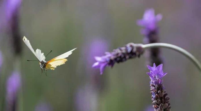 Las alas de mariposa albergan un revolucionario método antifalsificación'>