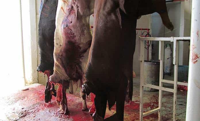 Continúa matanza de animales de manera clandestina